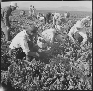 tule_lake_relocation_center_newell_california-_harvesting_spinach-_-_nara_-_538316