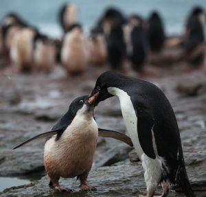Adélie_Penguin_regurgitates_krill_for_its_chick_(5917753158)