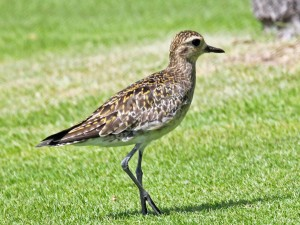 Pacific_Golden_Plover_hawaii_RWD