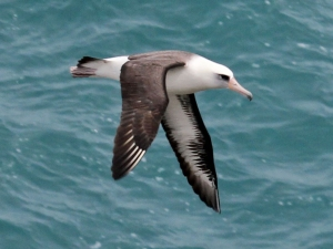 Laysan_Albatross_RWD2
