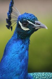 Peacock_Quinn Dembrowski