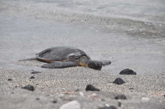 Honu on beach