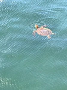Honu swimming