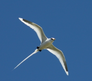 White-tailed_tropicbird by Yooshau
