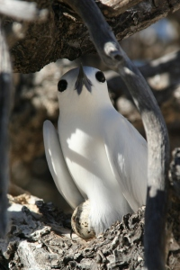 Incubating_white_tern
