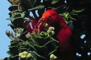 'I'iwi_at_Hosmer_Grove,_Haleakala,_Maui,_Hawaii_4